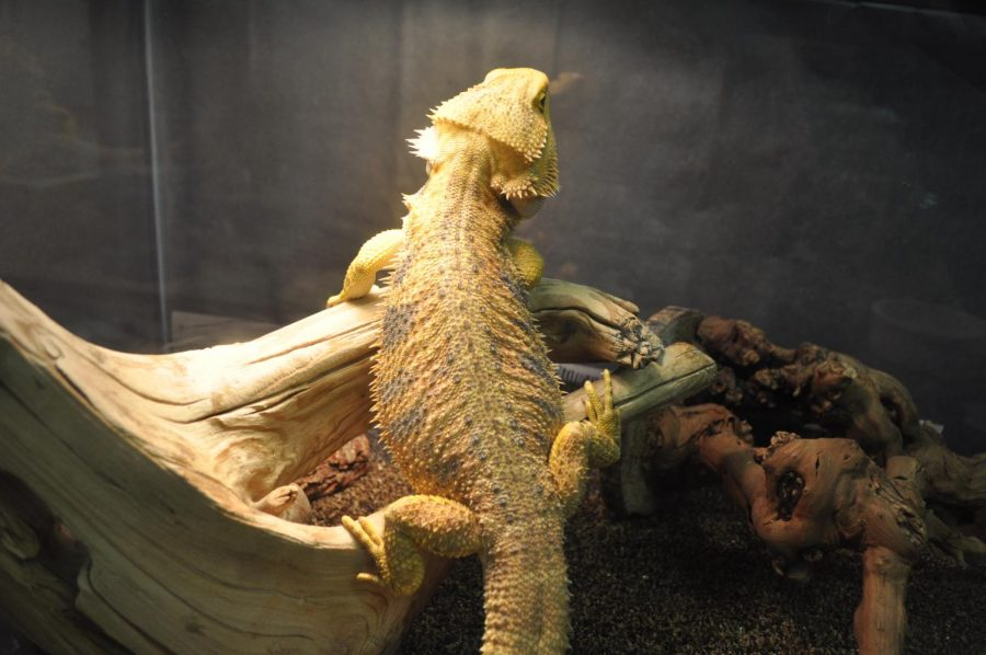 The+bearded+dragon+relaxes+under+his+lamp%2C+perched+on+his+favorite+log.+