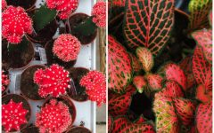 Left: A moon cactus. Right: A fittonia.