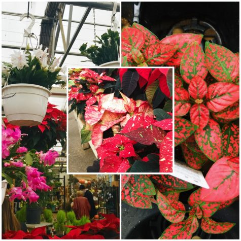 Left: A christmas cactus. Right: A polka dot plant. Middle: a poinsettia.